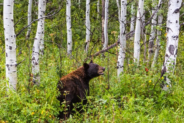Black bear in birch forest, Waterton Lakes National Park, Alberta, Canada