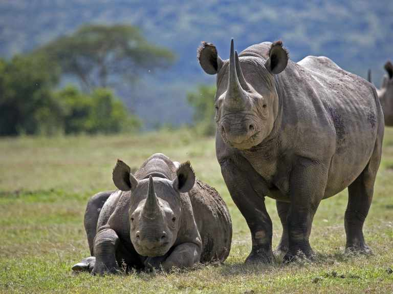 Rhino Guide How To Identify Each Species Where To See And Conservation Discover Wildlife
