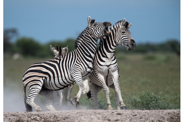 Two zebras fighting, Botswana