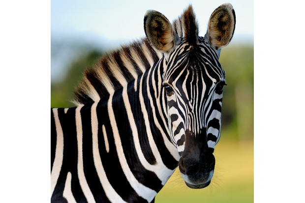 14 amazing zebra facts | Zebra images - Discover Wildlife