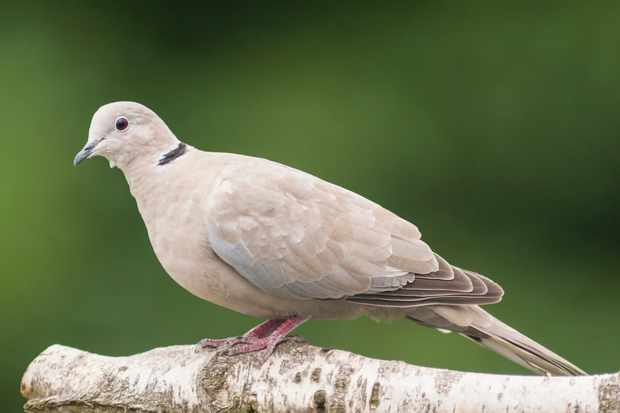 Collared dove (Streptopelia decaocto). © Tim Oram/Getty