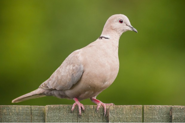 A Collared Dove (Streptopelia decaocto)