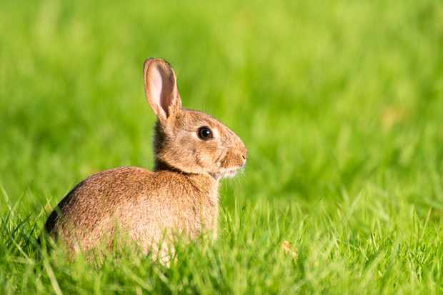 European rabbit. © James Warwick/Getty