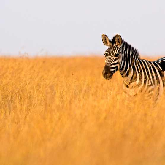 Zebra in high grass in evening light on the Masai Mara, Kenya