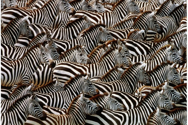 A dazzle of Burchell's zebras