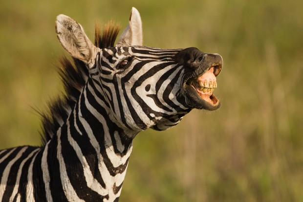 Plains zebra (Equus burchelli) making noise in the Ngorongoro Crater, Serengeti National Park, Tanzania