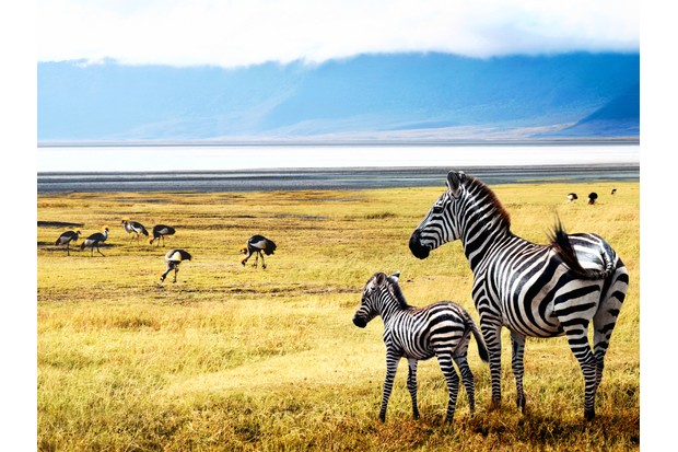 Baby zebra looking out over the Ngorongoro Crater in Tanzania with its mother