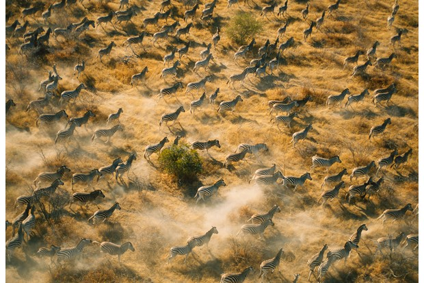 Aerial view of zebras running through savannah