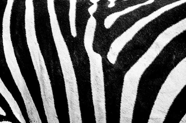 Zebra stripes.