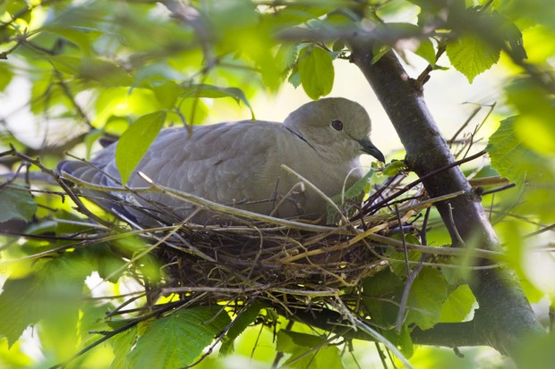Eurasian collared dove (Streptopelia decaocto) incubating eggs in nest