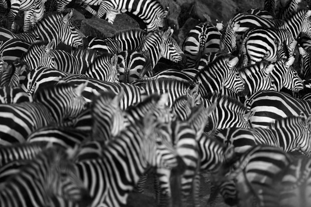 Zebra herd waiting on the bank of the Mara river, Kenya