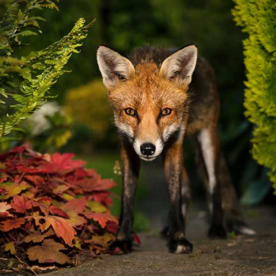 Red fox in a UK garden