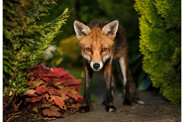 Red fox in a UK garden