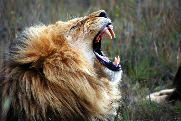 Why can only big cats roar? - Discover Wildlife