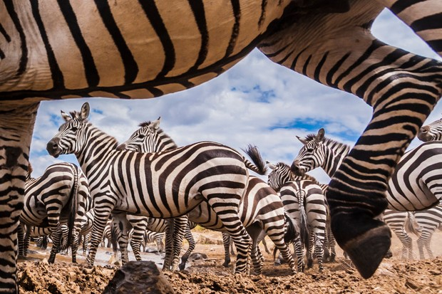 A spy camera capturing a zebra herd at the Mara river, with several zebra framed between the legs and body of another
