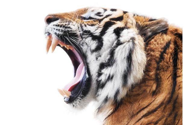 Roaring tiger (Panthera tigris)