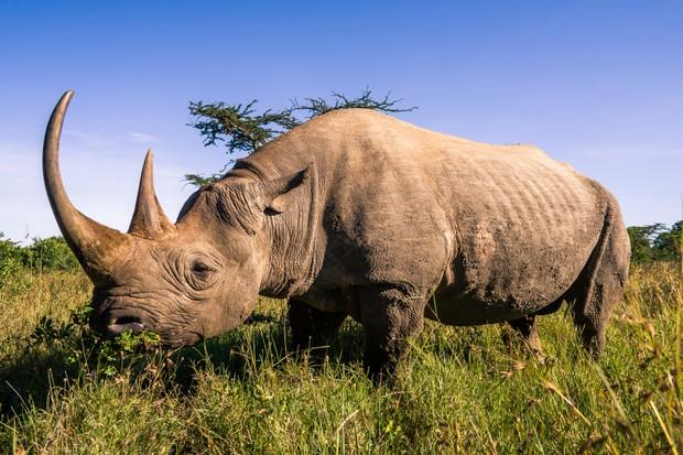 Black rhinoceros (Diceros bicornis) in the African savannah