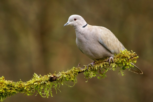 Eurasian collared dove (Streptopelia decaocto) perches on a mossy branch in Victoria, British Columbia, Canada.