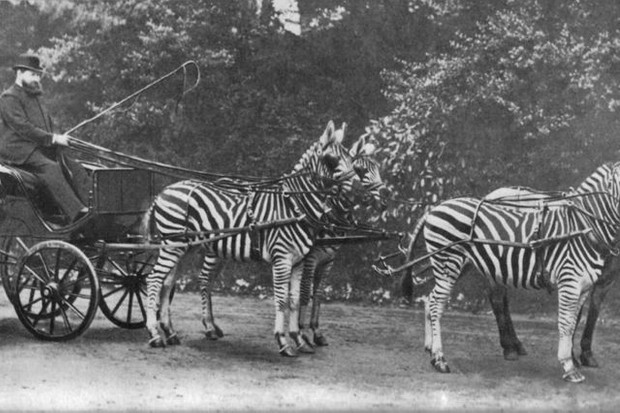Walter Rothschild with his zebra carriage
