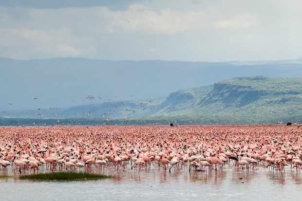 A vast flock of lesser flamingos in Nakuru Lake Reserve, Kenya