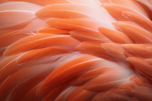 Close up of bright pink flamingo feathers