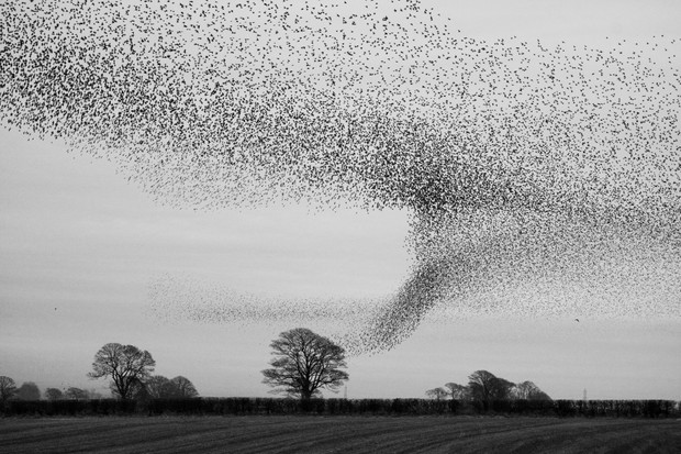 Starling (Sturnus vulgaris) murmuration at roost site near Gretna Green at dusk.