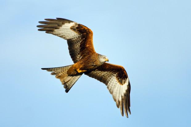 Red Kite (Milvus milvus) in flight, Gigrin Farm