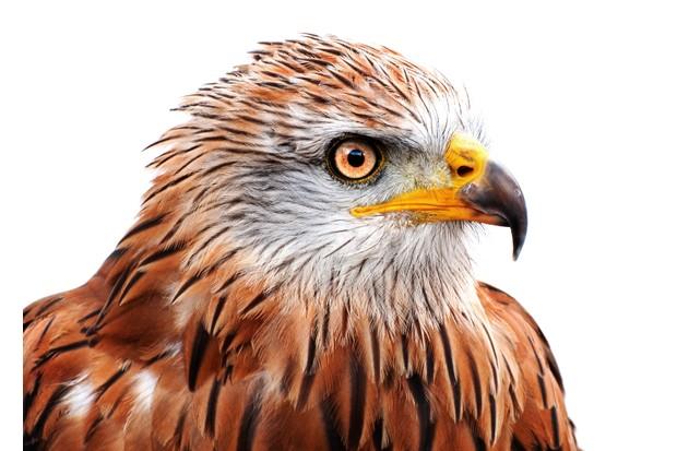 Red kite (Milvus milvus) portrait