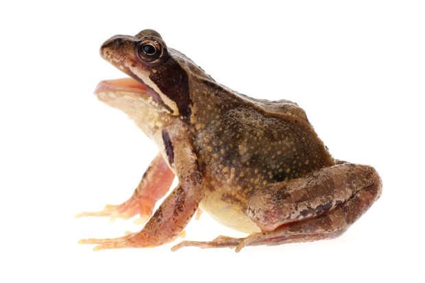 Common brown frog (Rana temporaria) with its mouth open