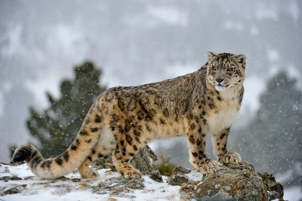 Snow leopard (Panthera uncia) standing regally on a snowy hillside