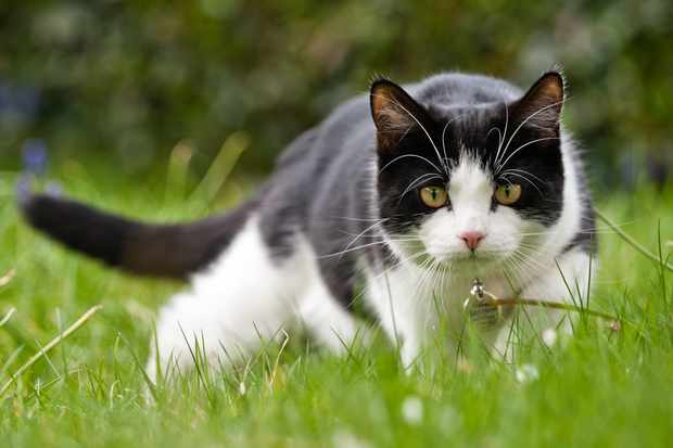 A domestic cat hunting for mice in the garden. © Daugirdas Tomas Racys/Getty