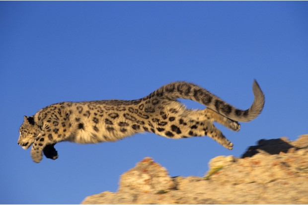 Leaping snow leopard (Panthera uncia)