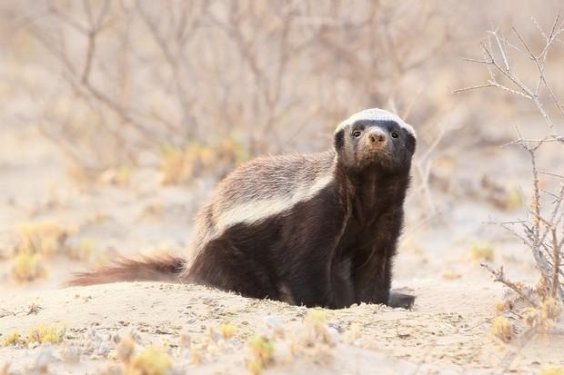 Honey badger (Mellivora capensis) in the Kalahari desert