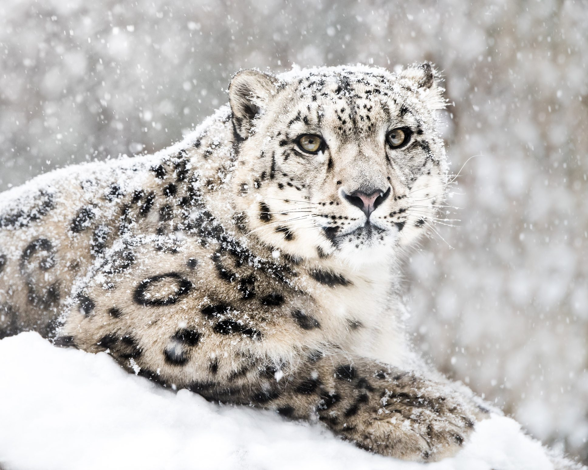 snöleopard dating
