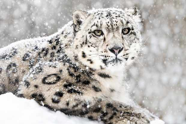 Snow leopard (Panthera uncia) in a snowstorm