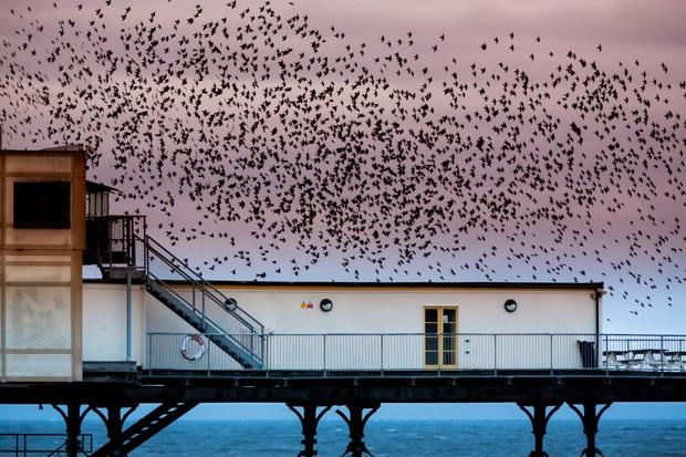 Murmuration of starlings over Aberystwyth Pier in Wales © Paul Cooper / Getty