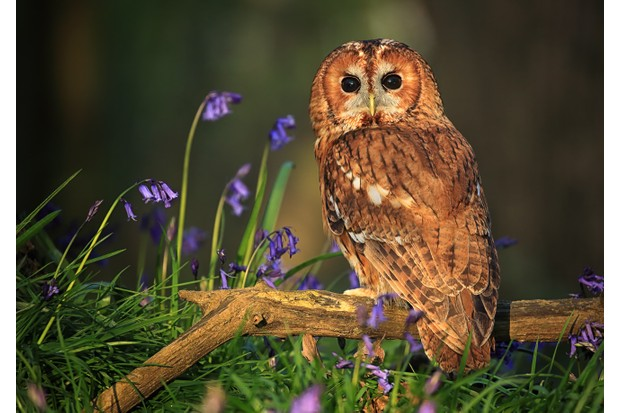 A tawny owl (Strix aluco) in the late evening sunshine, perched on a branch that's surrounded by English bluebells.