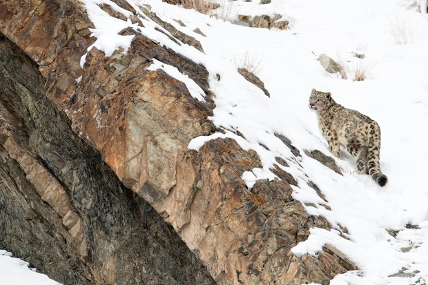 Snow leopard (Panthera uncia) walking down snow covered slope, Hemas National Park, Ladakh, India