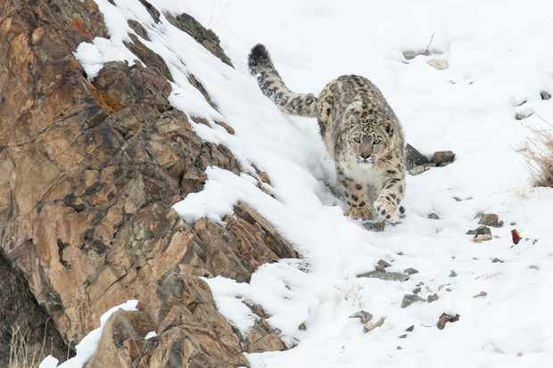 Snow leopard walking down a snow covered slope in Hemas National Park, Ladakh, India. © Ben Cranke/Nature Picture Library/Getty