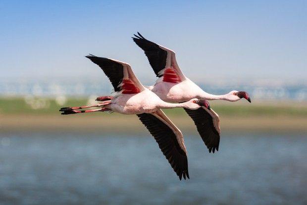 Lesser flamingo flying over water in Walvis Bay, Namibia