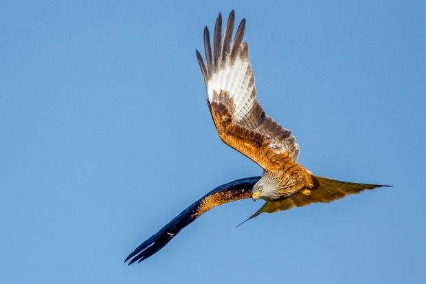 Red kite (Milvus milvus) in flight preparing to dive
