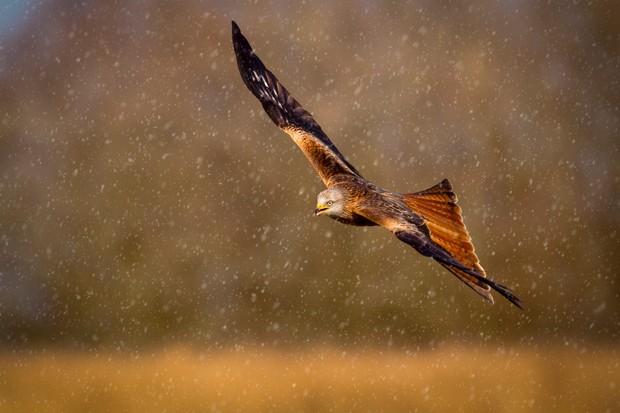 Red kite (Milvus milvus) in flight during a snow shower