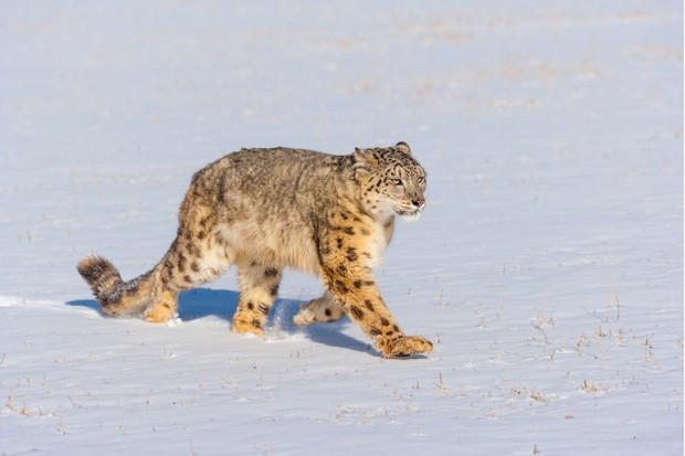 Snow leopard (Panthera uncia) walking through the snow