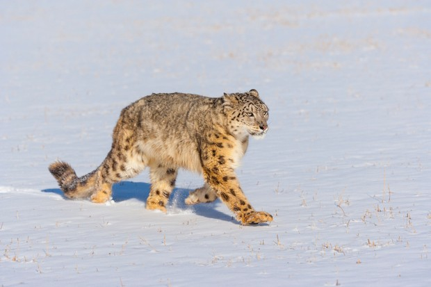 Snow leopard (Panthera uncia) walking through the snow