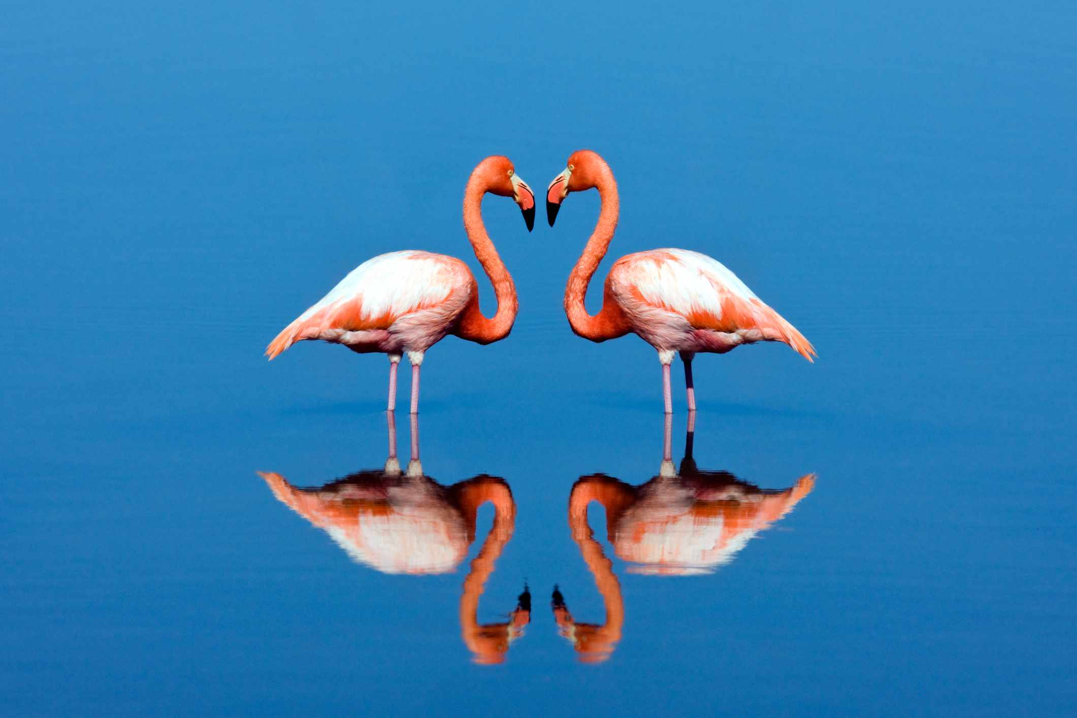 Pair of greater flamingos (Phoenicopterus ruber) facing each other to form a heart shape on a freshwater lagoon on Floreana Island in the Galapagos Islands. © Steve Allen/Getty