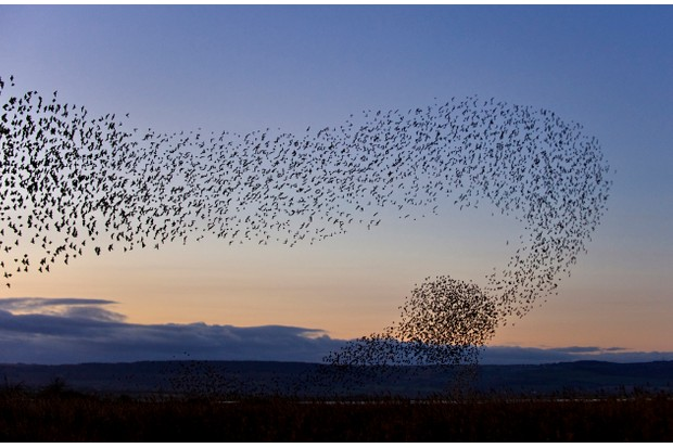 Starlings massing at a winter roost site at dusk.