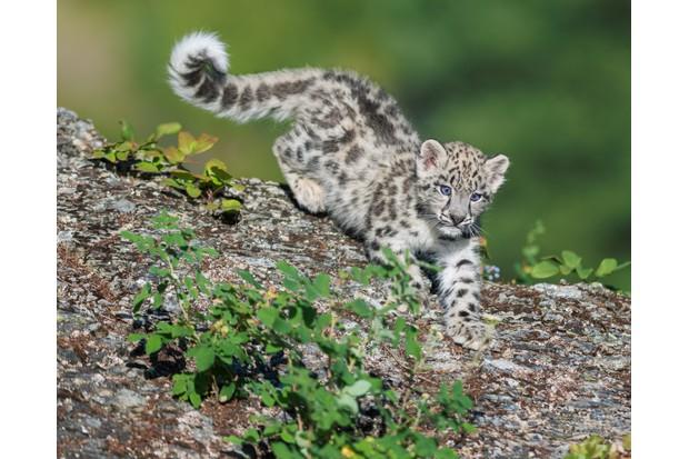 Snow leopard (Panthera uncia) cub