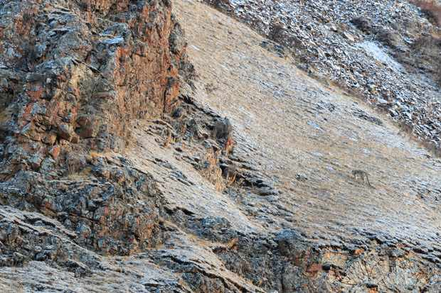 A superbly camouflaged snow leopard on a desolate mountainside