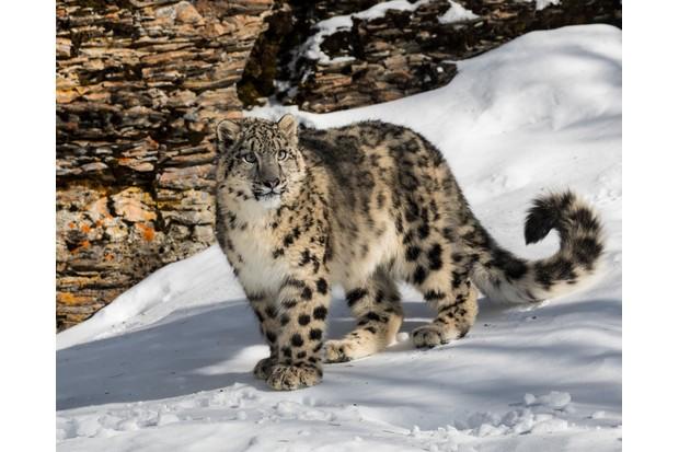 Snow leopard on a snowy mountain