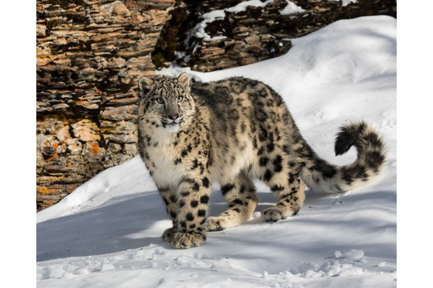 Snow leopard on a snowy mountain